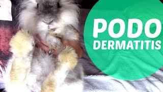 Pododermatitis en conejos