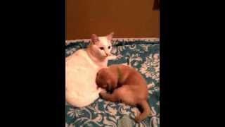 Cat Gives Yellow Labrador Retriever Puppy A Bath