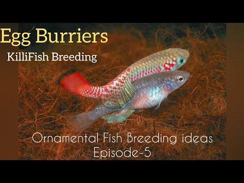 KilliFish Breeding - Egg Burriers- Ornamental Fish Breeding Basic Ideas----Eshwar Gandhi