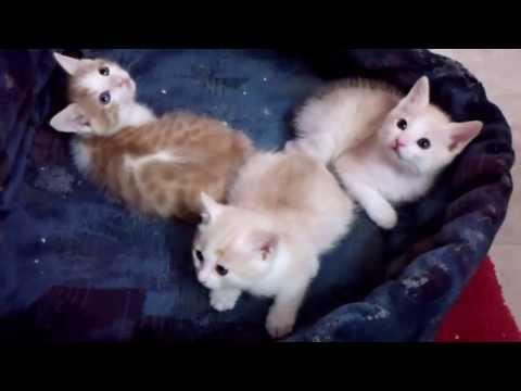 Japanese Bobtail Kittens - Yoko's Litter of 12/7/13