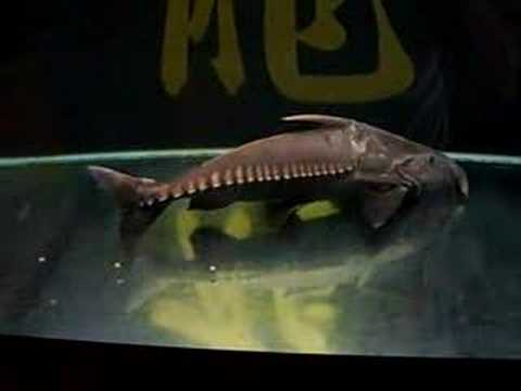 Niger Catfish from YouTube · Duration:  38 seconds  · 13,000+ views · uploaded on 8/28/2007 · uploaded by Occellatus