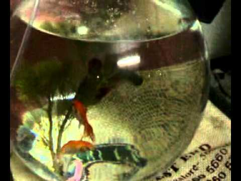 How to take care of fish in the fish pot youtube for How to take care of a fish