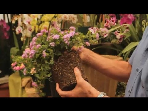 how to transplant lantana plants orchid care more youtube. Black Bedroom Furniture Sets. Home Design Ideas