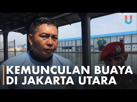 Kemunculan Buaya di Jakarta Utara