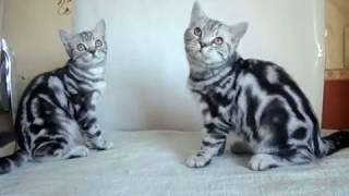 Продаются мраморные британские котята 4 мес