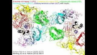 Insulin receptor (with sound)