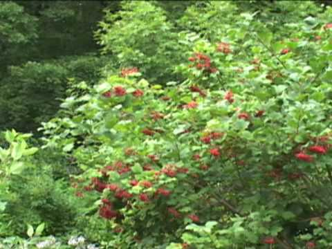 American Cranberry Bush Shrub Care Tips From