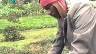 Purple Tea Gains Popularity Among Farmers In Meru County