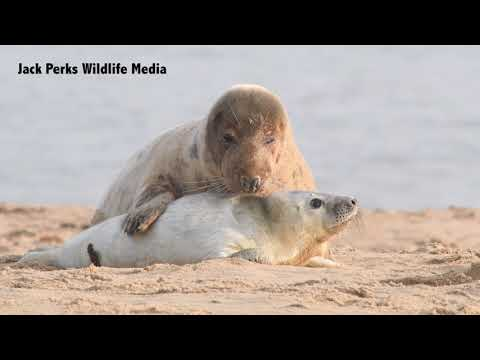 Grey Seals on a Norfolk Beach