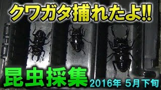 Turn on CC for English subtitles! 初夏の前の真夜中に昆虫採集してき...