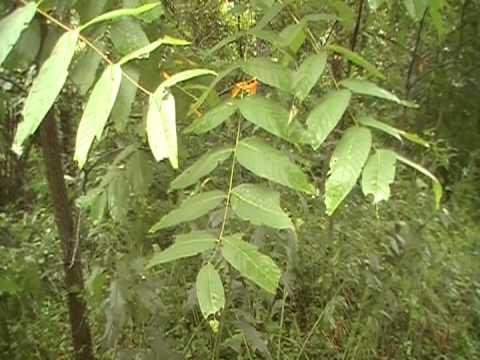 Black Walnut identification (Juglans Nigra) video