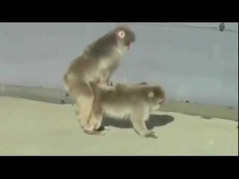 super lucu Monyet lagi begituan