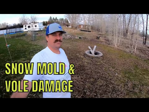Snow MOLD. VOLE Damage