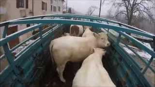 [GOPRO] Rentrée les vaches sous la neige