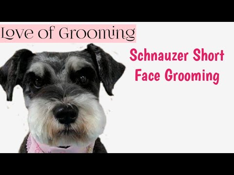 How to Clip a Pet Schnauzers Face and Eyebrows Short | Pet Schnauzer Grooming