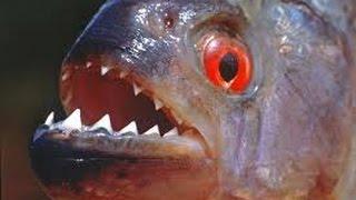 Пираньи Едят Креветки. Piranhas Eat Shrimp.