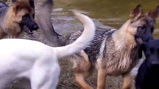 German Shepherds And Labrador Swimming