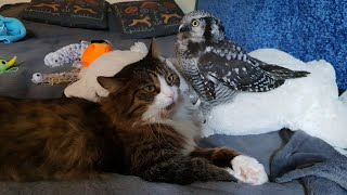 Осторожно - милота! Свершилось: Сове Иве удалось пожмякать кота Мурлока!