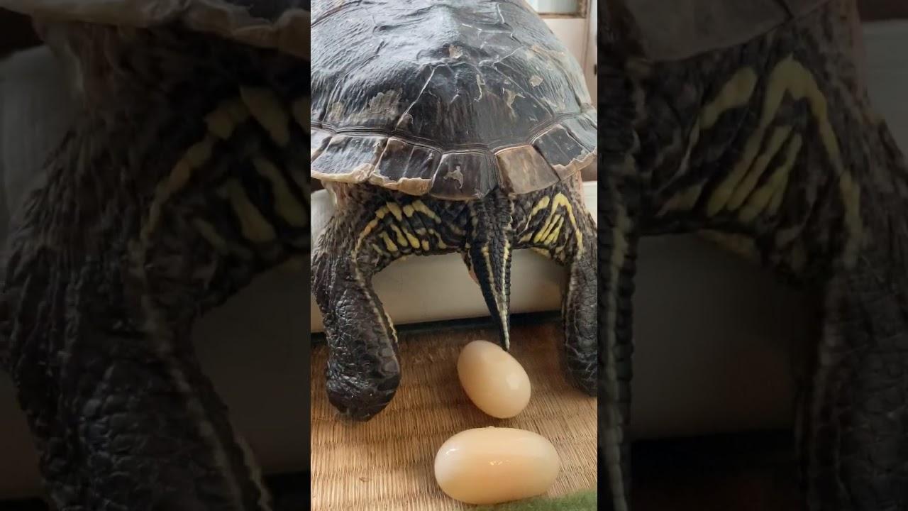 My turtle カメちゃんの産卵②