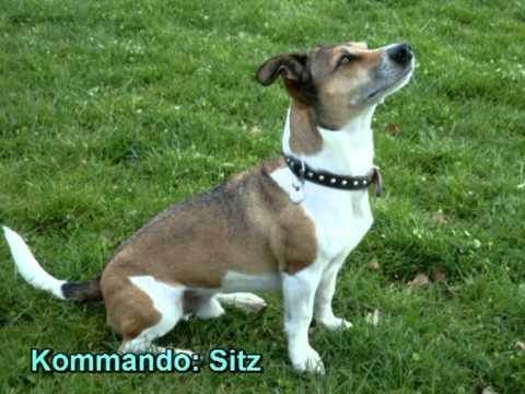 Hundeerziehung ganz easy jack russell terrier mani mampffred in der hundeschule zeigt kommando - Jack russel queue coupee ...