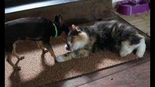 Любовь между кошкой и собакой! Смешное видео  -  Love between a cat and a dog! Funny Videos
