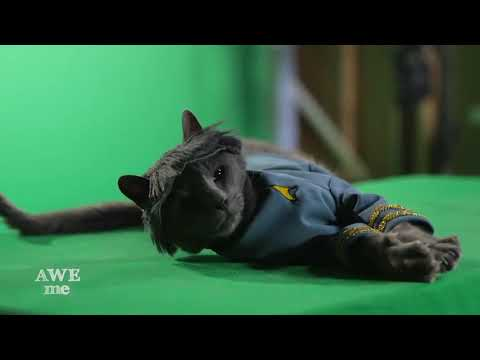 Animals For Hollywood: Russian Blue Cat Team