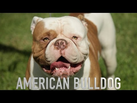 THE AMERICAN BULLDOG - A DOG LOVERS INTRODUCTION
