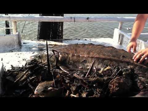 Dragging For Shrimp In Darien River