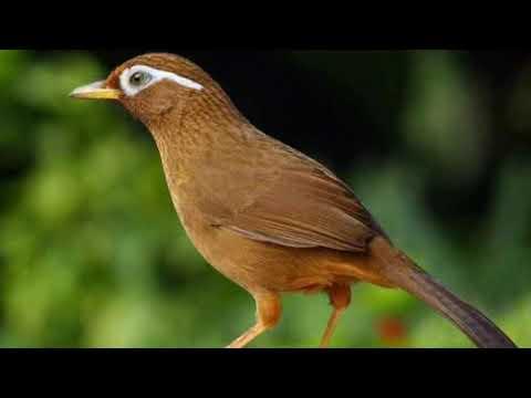 Kicau Burung Hwamei Wambi Gacor Cocok Untuk Masteran Burcil Youtube