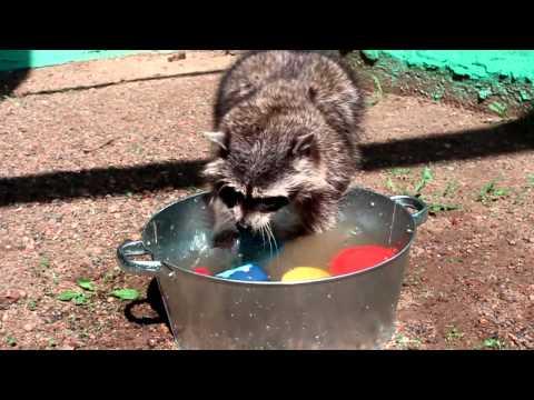 Енот Маша моет посуду