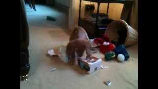 Gwen The Golden Working Cocker Spaniel Opening Her Xmas Gifts!
