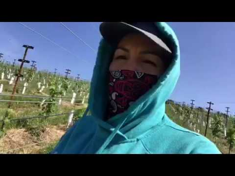 Trabajando en el campo (field) Napa california en la uva 🍇 para vino 🍷