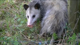 VIDEO: Detroit man evicts possum with a shovel, angers ...