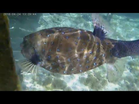 Рыба Шар. Иглобрюхие