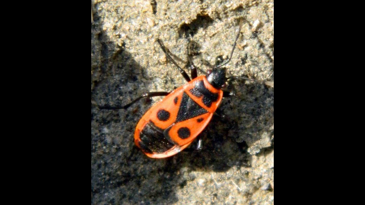 Resultado de imagen de zapatero insecto