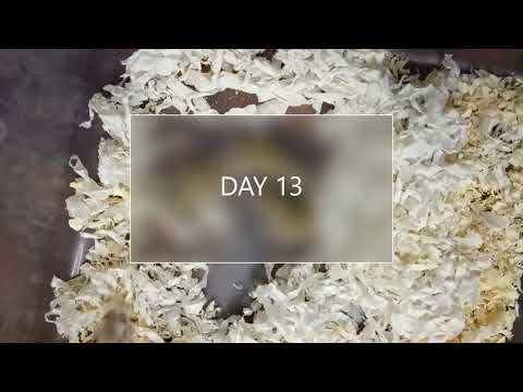 Baby Roborovski Hamster Birth  (day 1-- Day 21)
