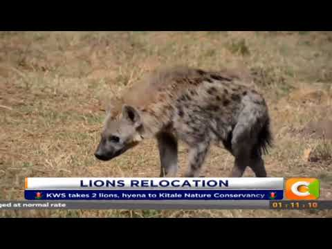KWS takes 2 lions, hyena to Kitale Nature Conservancy