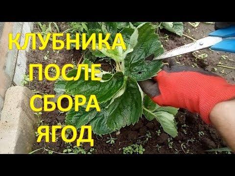 ПЯТЬ полезных советов по уходу за КЛУБНИКОЙ после сбора ягод 🍓Как выращивать клубнику.