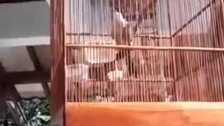 Kicau Burung Pentet Gacor Bisa Tiru Suara Burung Apa aja