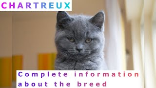 Chartreux. Pros and Cons, Price, How to choose, Facts, Care, History