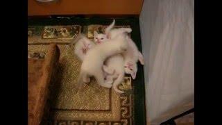 Мужают четыре мушкетёра - тайские котята! Тайские кошки - это чудо! Funny Cats