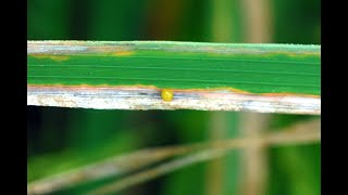 Bacterial Leaf Blight (BLB) of Rice Caused by Xanthomonas oryzae pv. oryzae
