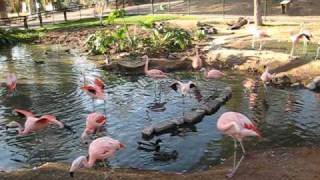 what sound does a flamingo make?