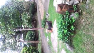カラ&キャベ、姉妹のお庭遊びです。 夢中で呼んでも来てくれません。