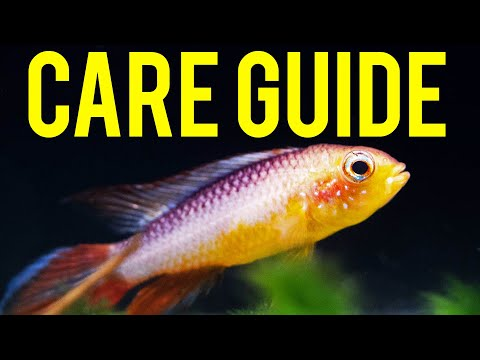 Apistogramma Agassizii ​Care Guide - Colorful Centerpiece Fish For Nano Tanks