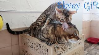 Кошка вяжет кота, уникальный случай, как стать стервой прайда ?
