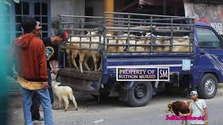 Download Video Kambing Naik Mobil - Pasar Kambing Pamotan Rembang MP3 3GP MP4