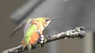 Rufous Hummingbirds (Selasphorus rufus), William L. Finley National Wildlife Refuge, Oregon