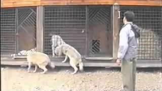Король собак, даже волки боятся!