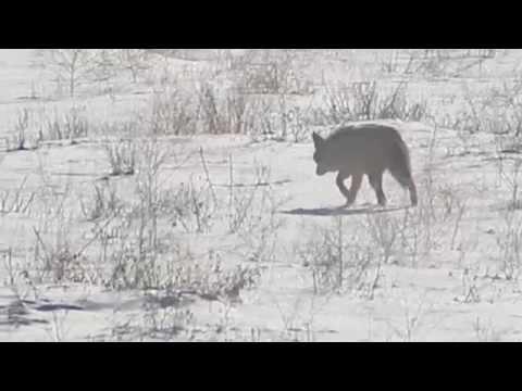 A Coyote Hunts on Christmas